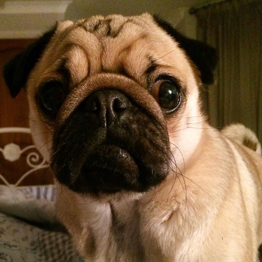 Pin On Alfie The Pug