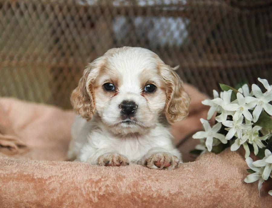 Lovable Affectionate Full Of Life Aldo This Cute And Cuddly Cockerspaniel Pup In 2020 Cocker Spaniel Puppies Spaniel Puppies For Sale Spaniel Puppies