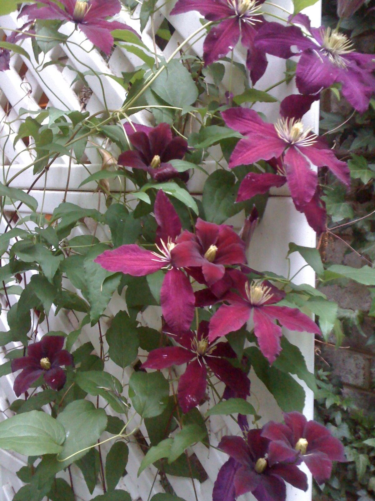 Burgundy Clematis Vine For the love of flowers = Pinterest