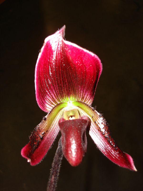 orchid_ladyslipper_burgundy