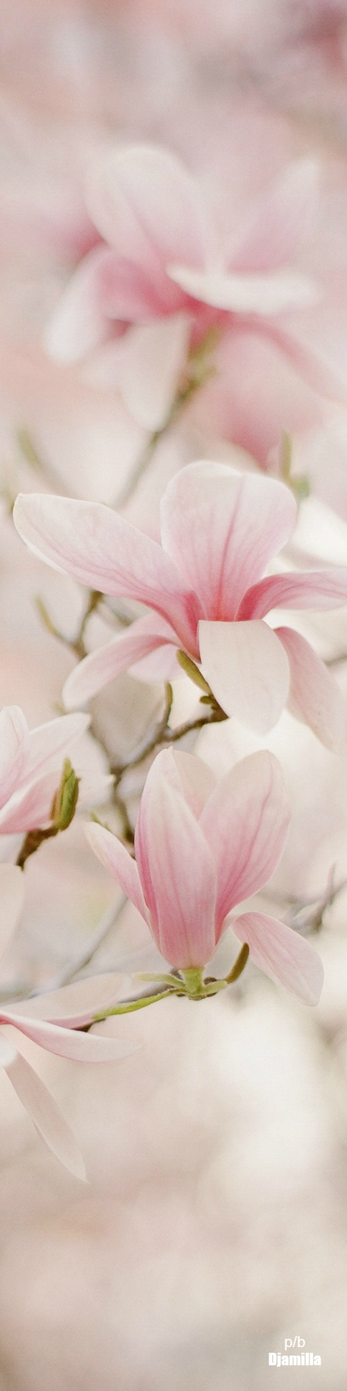 Springtime Whispers Cottage Flowers Beautiful Flowers Magnolia Trees