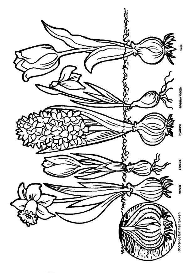 Malvorlage Frühling Zwiebeln Frühling im kindergarten