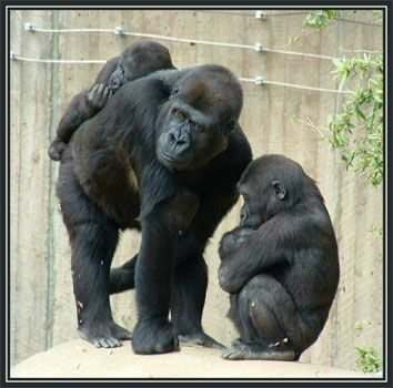 Body Language - 23 Sept 2005  | Apes, gorilla, chimps