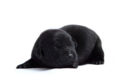 Fantastic Labrador Retriever Black Adorable Dog - ddac120c596dd8b94ffb70770cb1a04e  2018_12320  .jpg