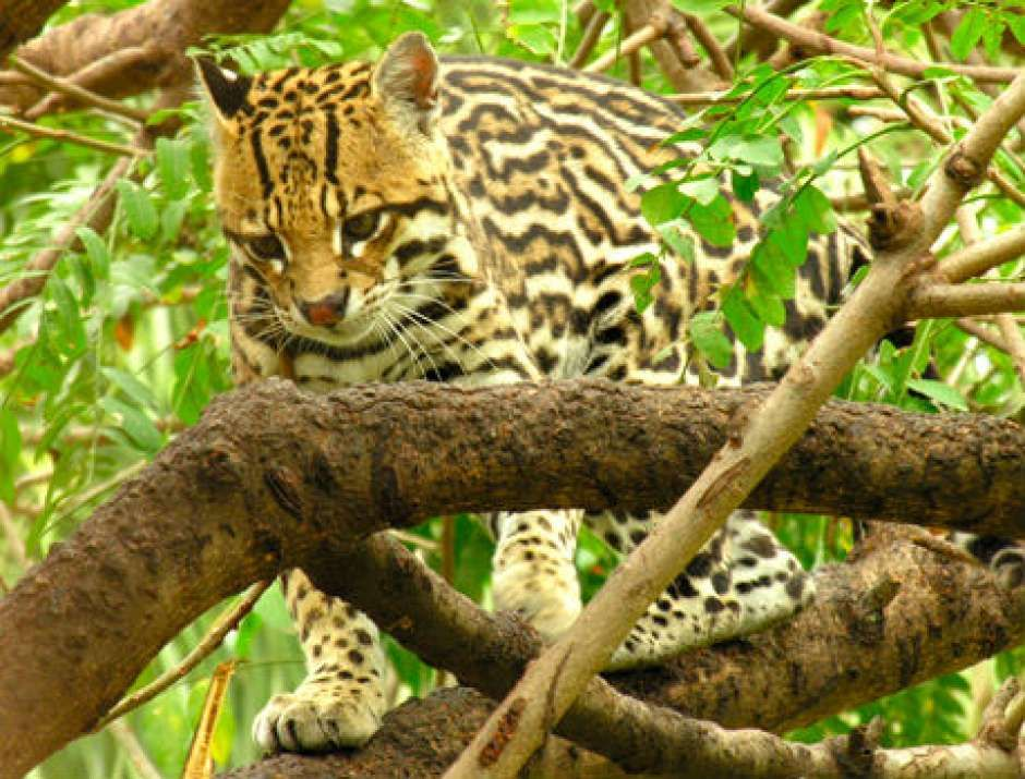 Jaguatirica pode ser vista no Parque Nacional Serra da Bocaina, em São José do Barreiro. Visite o BrasilGuias