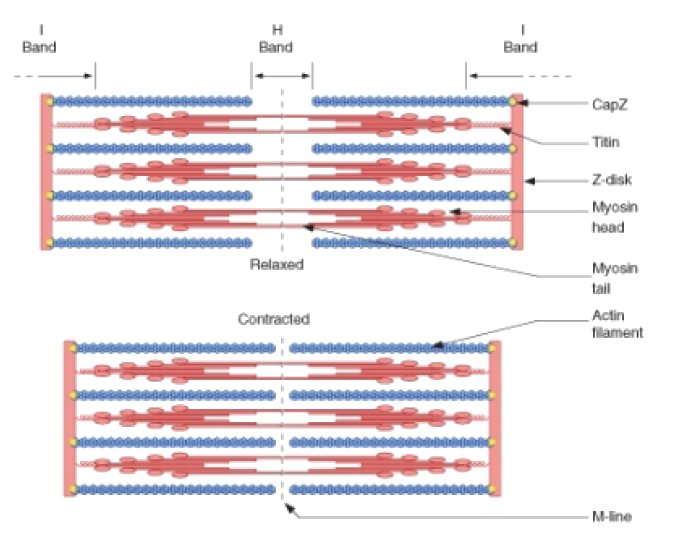 Sarcomere Drawing Relaxed 1 Muscle Contraction Biology Notes Medical School Stuff