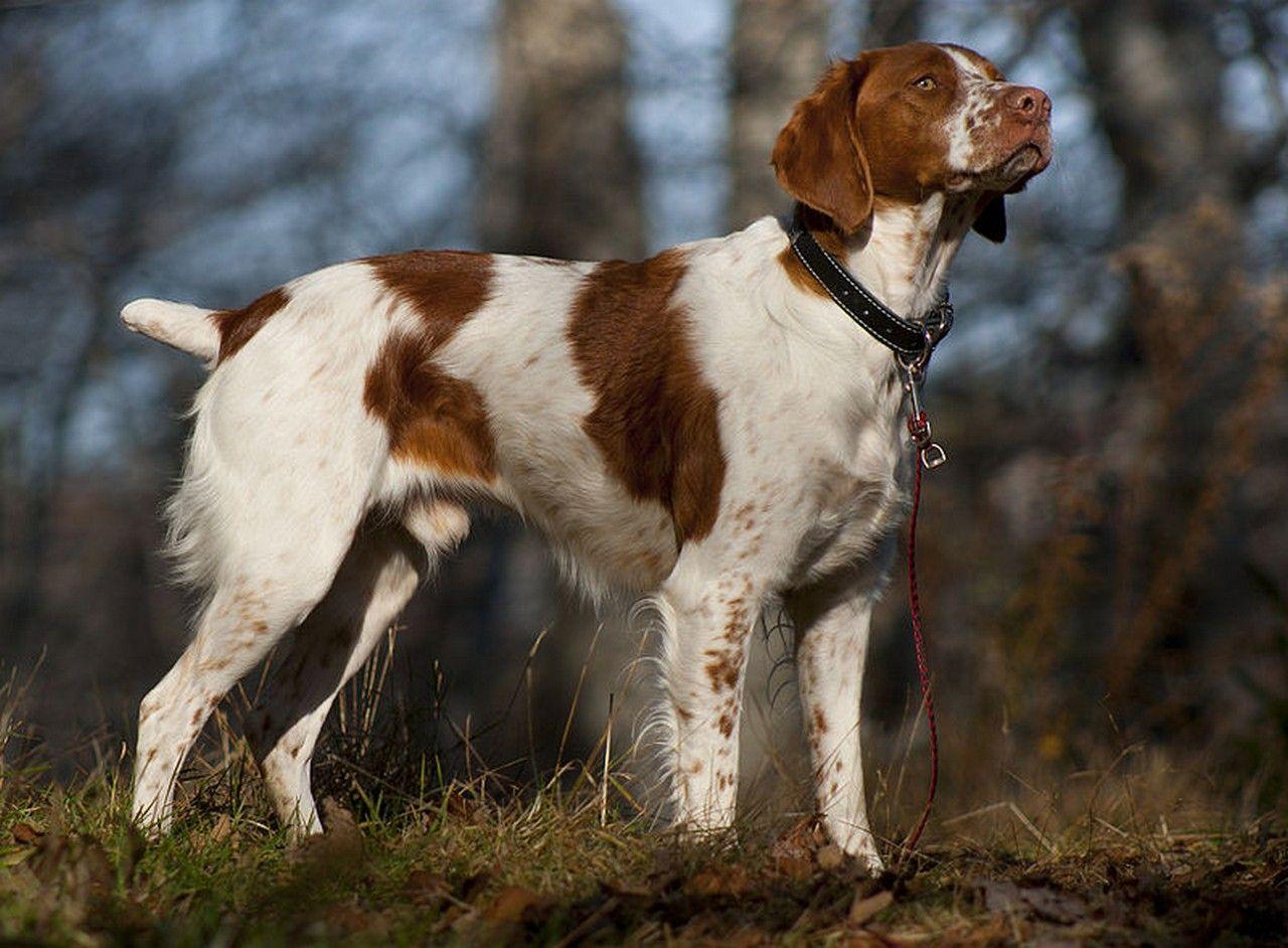 Basics of Brittany Dog | Chiens | Epagneul breton ...