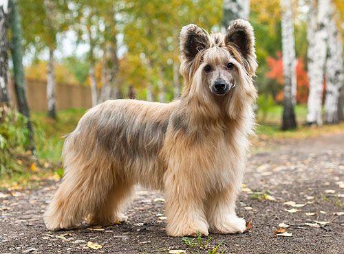 китайская пуховая собака фото