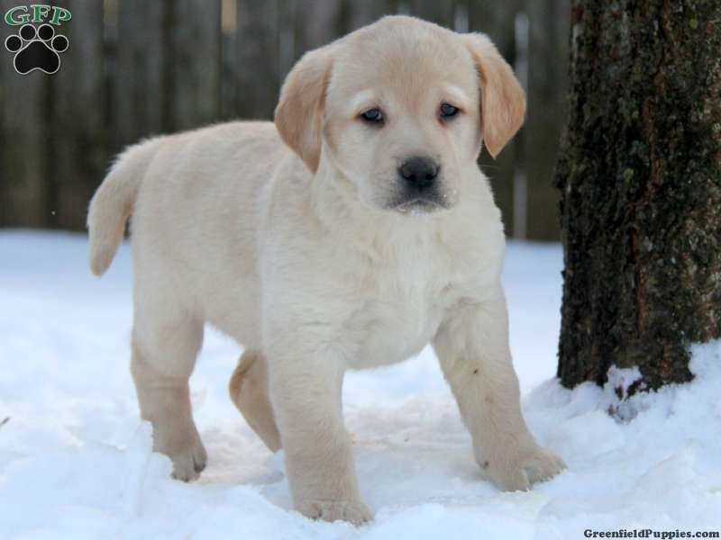 Nikki, Yellow Lab puppy for sale in Ronks, Pa Yellow lab