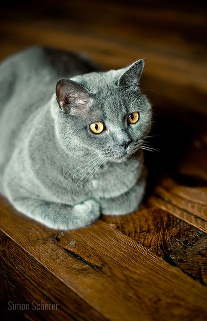 Cat With Glowing Eyes Cats Blue Cats Grey Cats