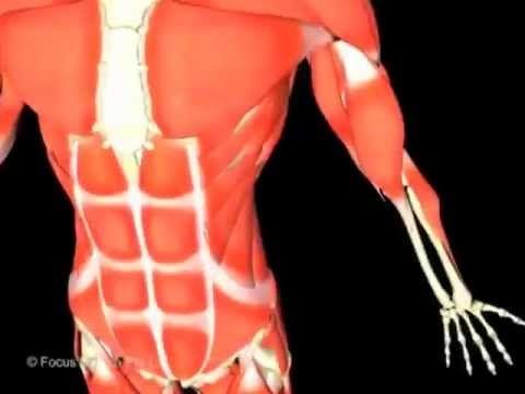 Respiratory System (Jr. Animated Atlas of Human Anatomy & Physiology ...