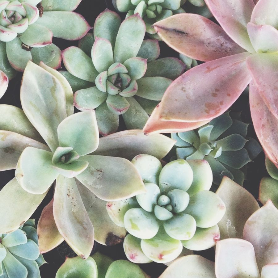 Free succulent garden phone background. Succulents