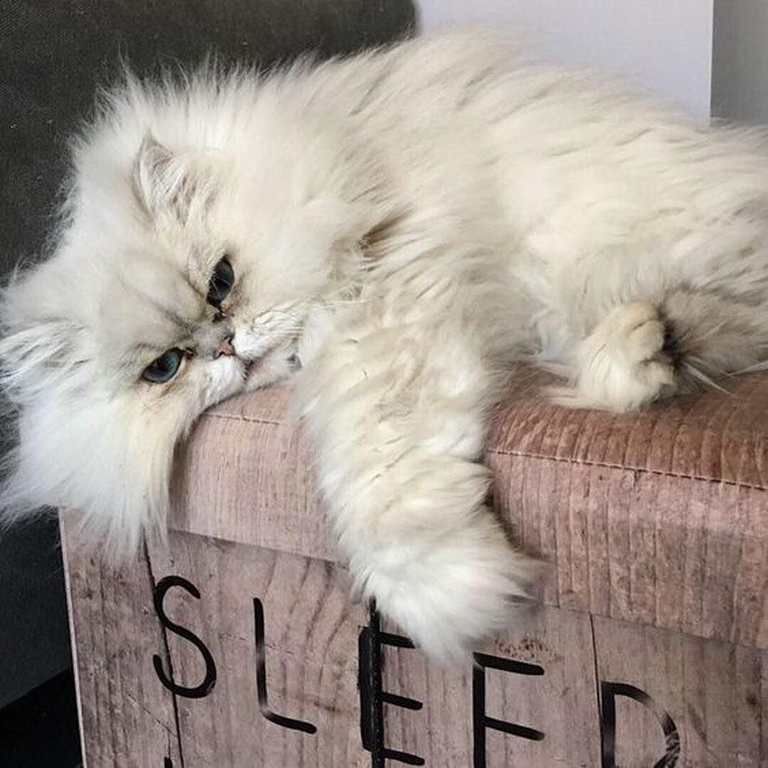Sleep R Co Hair Cute Cats Beautiful Cats Cats And Kittens