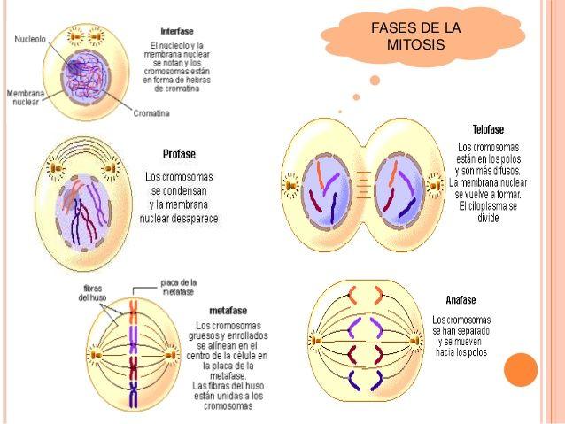 Resultado De Imagen De Fases De La Mitosis Mitosis Ciclo Celular Lecciones De Biologia