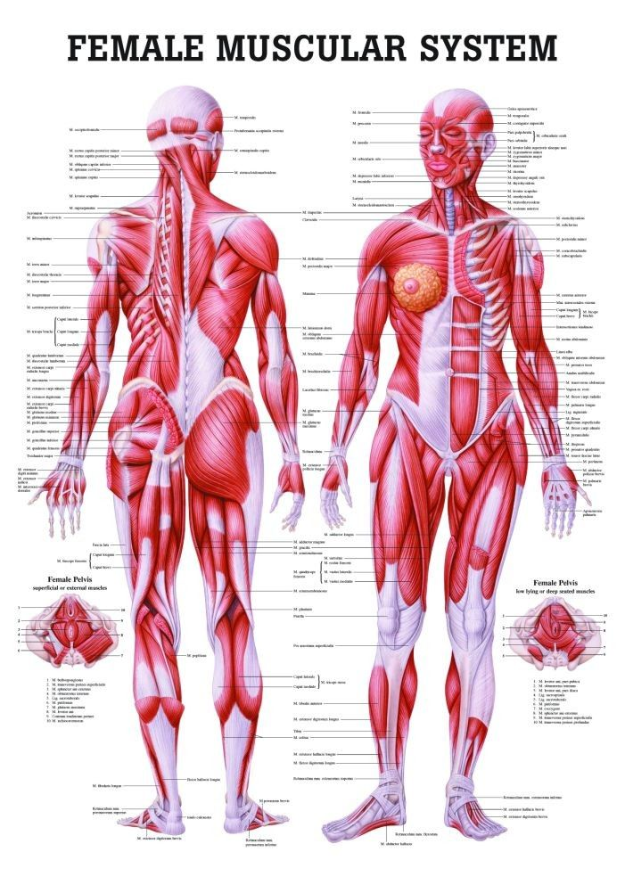The Female Muscular System Laminated Anatomy Chart | Wunderkammer ...