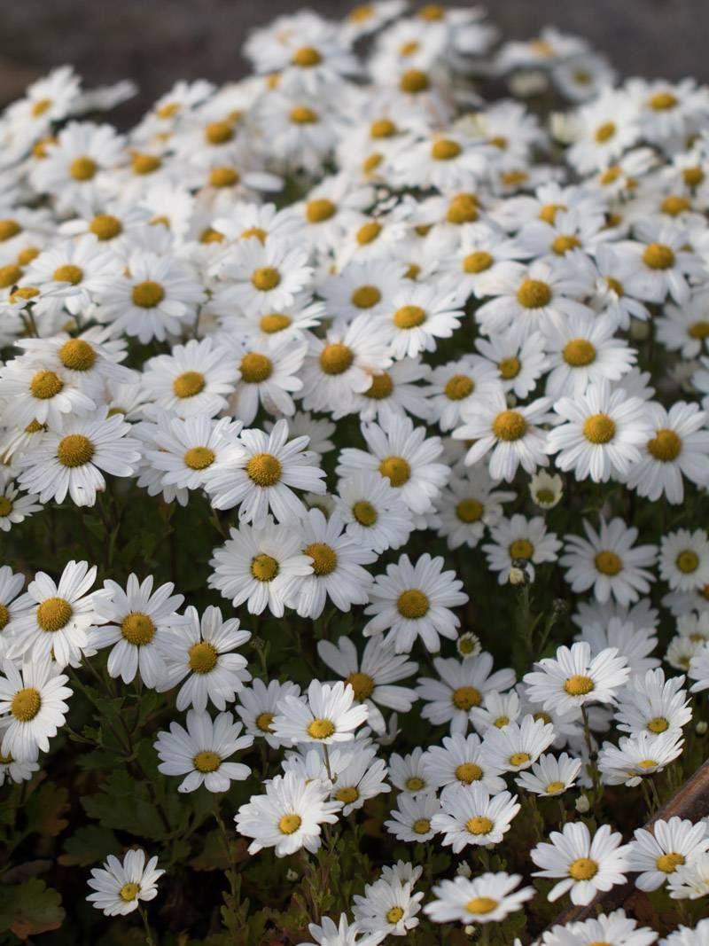 Arctanthemum Arcticum Stella Gronland Margerite Plants Flora Garden