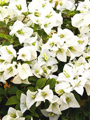 Buy Bougainvillea Java White. In stock and shipping now ...