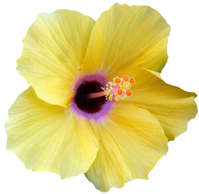 transparentflowers Yellow Hibiscus. Hibiscus rosa