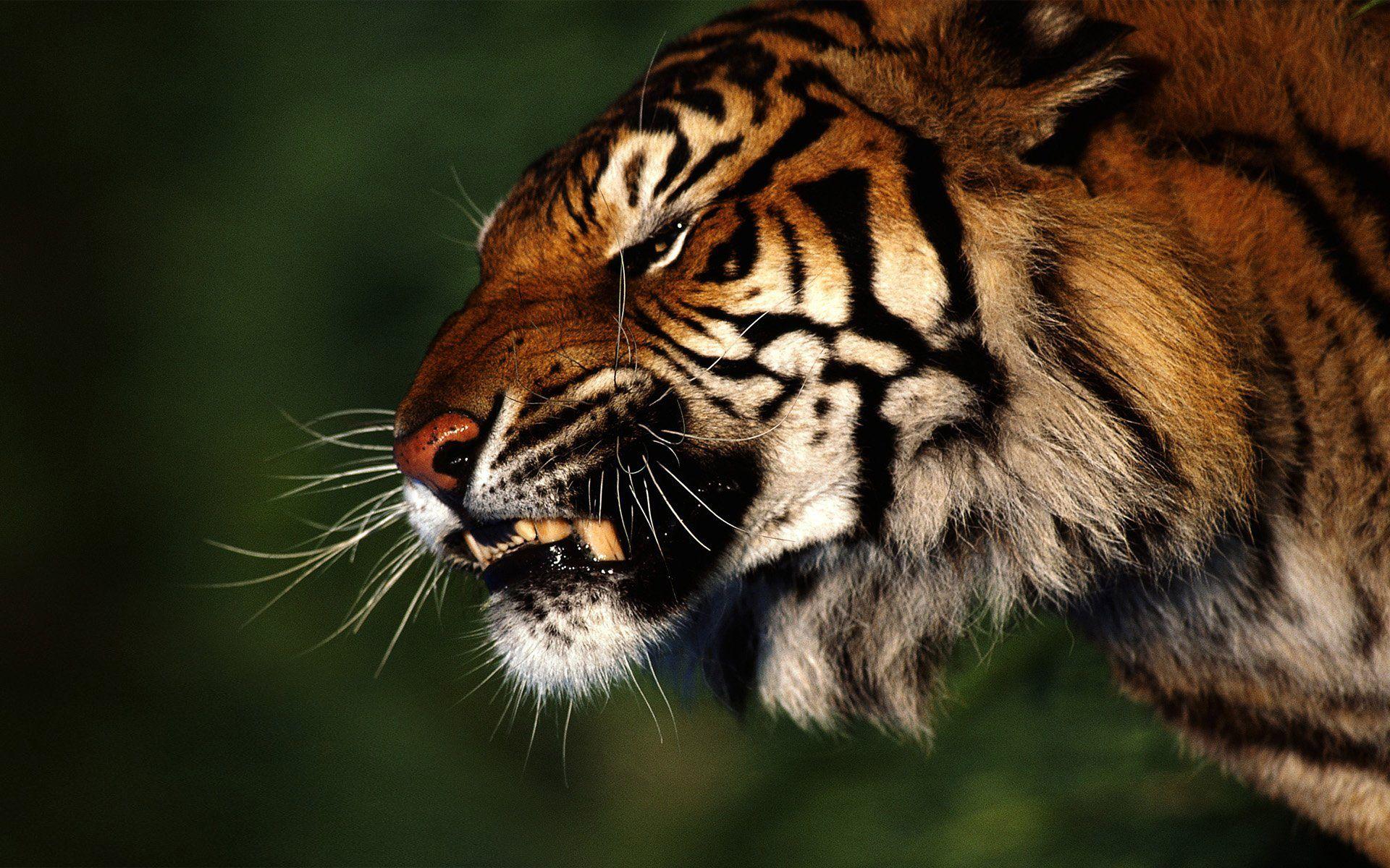 Tiger profile