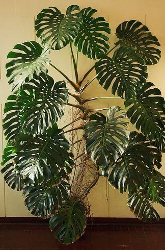 pin von sandy amk auf green hauspflanzen zimmerpflanzen und pflanzen. Black Bedroom Furniture Sets. Home Design Ideas