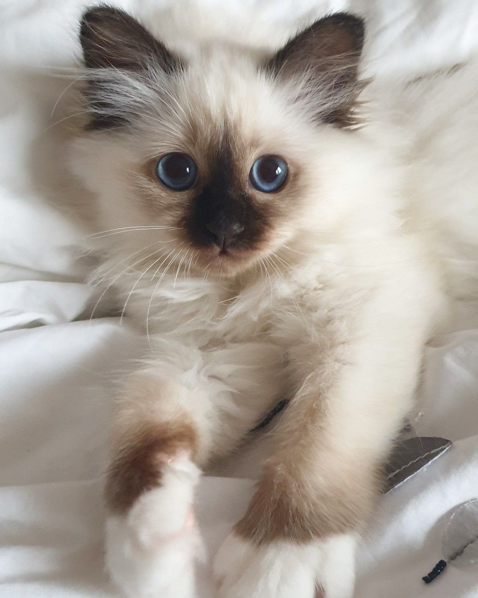 Birman Kittens Near Me : birman, kittens, Birman, Kitten, Daisy, Divine, Chintei, Point,, Weeks, Kittens,, Cats,, Pretty