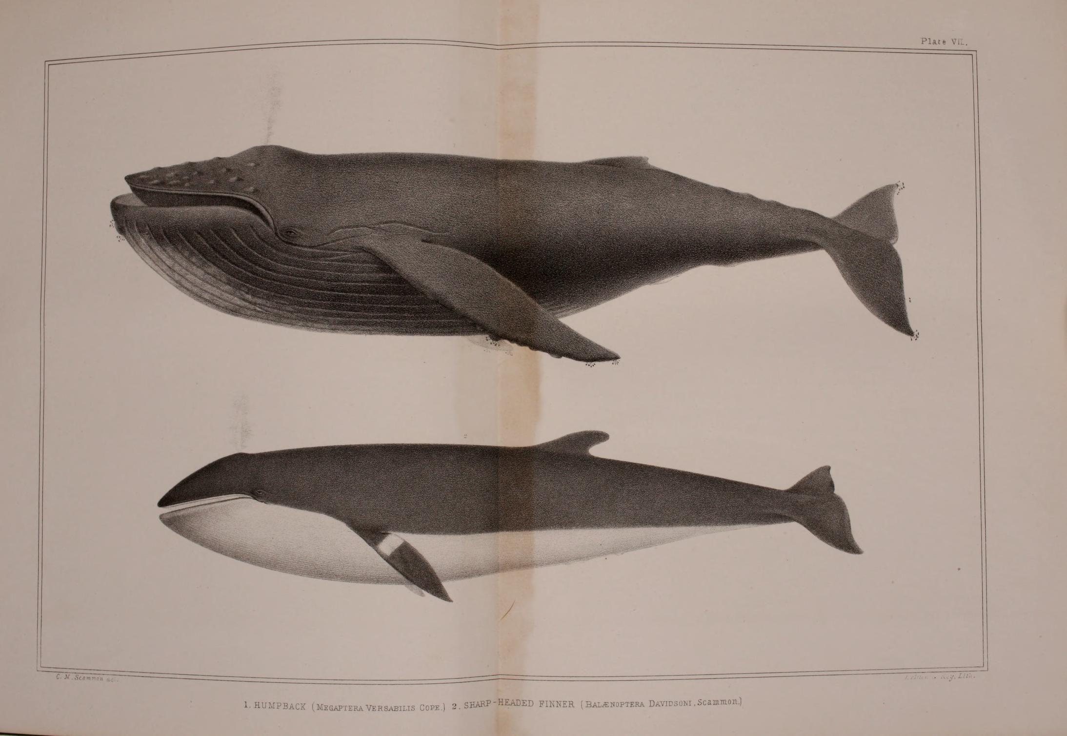 Humpback, Sharp-Headed Finner. The marine mammals of the north ...