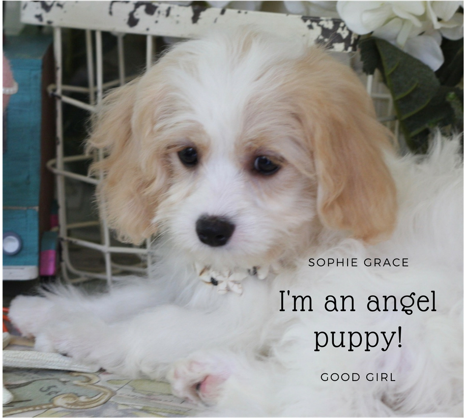 Cavachon Blenheim Toy Girl Puppy (Sorry! Our little toy