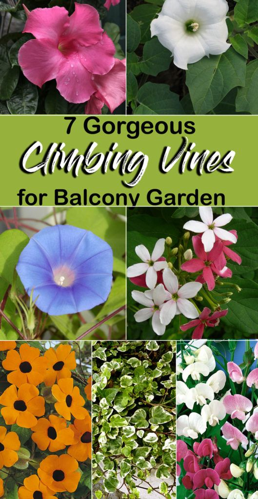 Photo of Balcony Garden | flowering vines for Balcony garden | Climbing plants – NatureBring