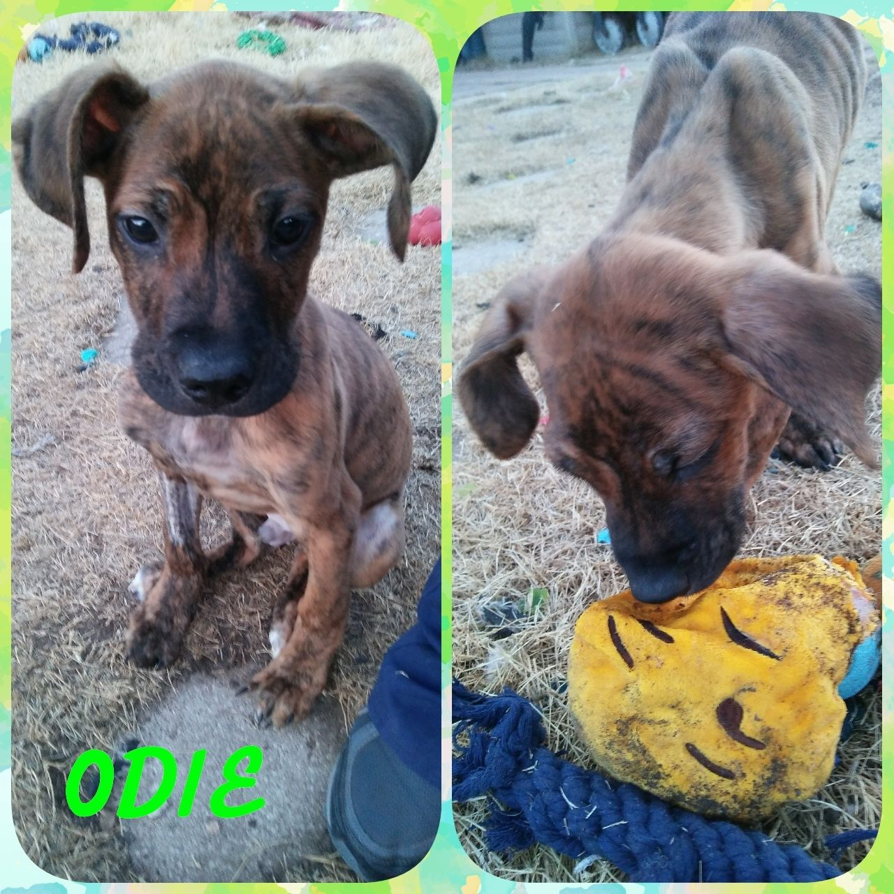 Adopt Odie On Puppies Humane Society Pets