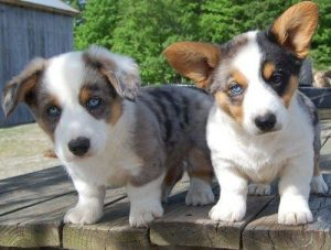 Australian Shepherd Corgi Mix Augie Dog Breed Corgi Mix Breeds