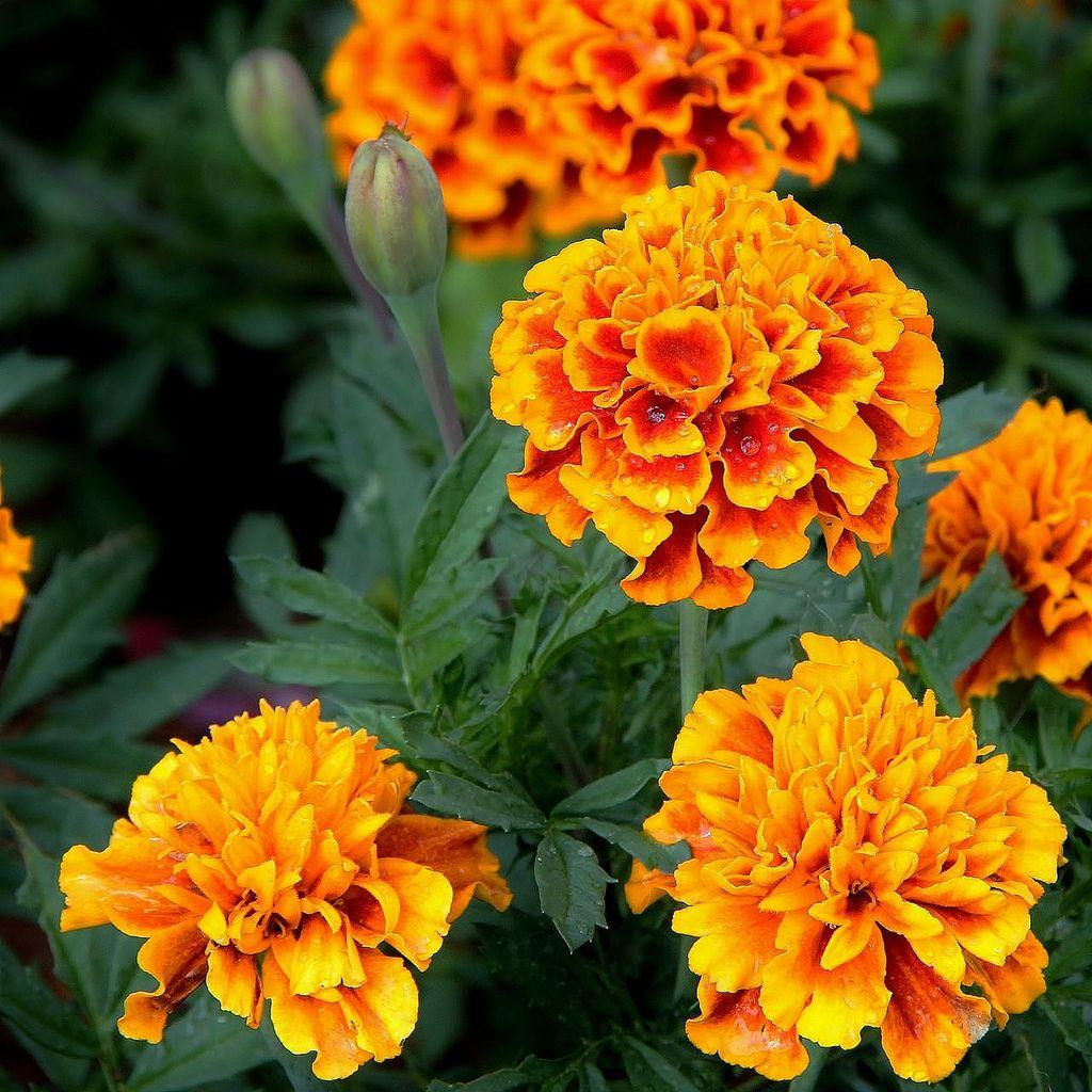 tagetes erecta mb pinterest fleurs fleurs comestibles and oeillet d 39 inde. Black Bedroom Furniture Sets. Home Design Ideas