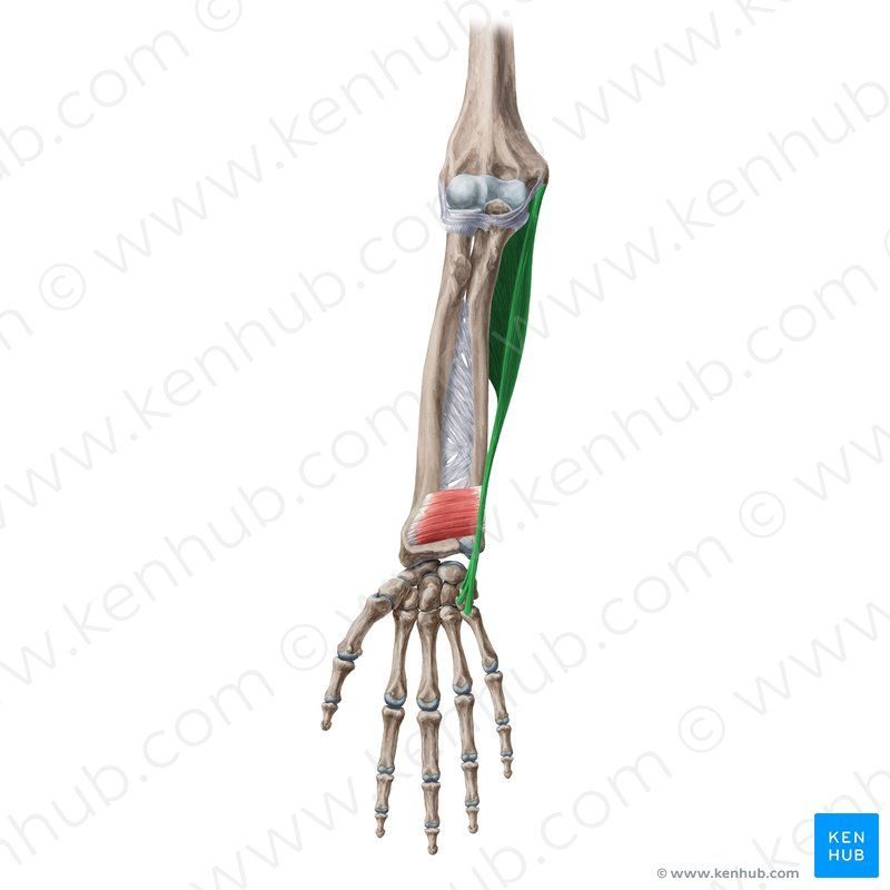 30+ Superficial anterior forearm muscles