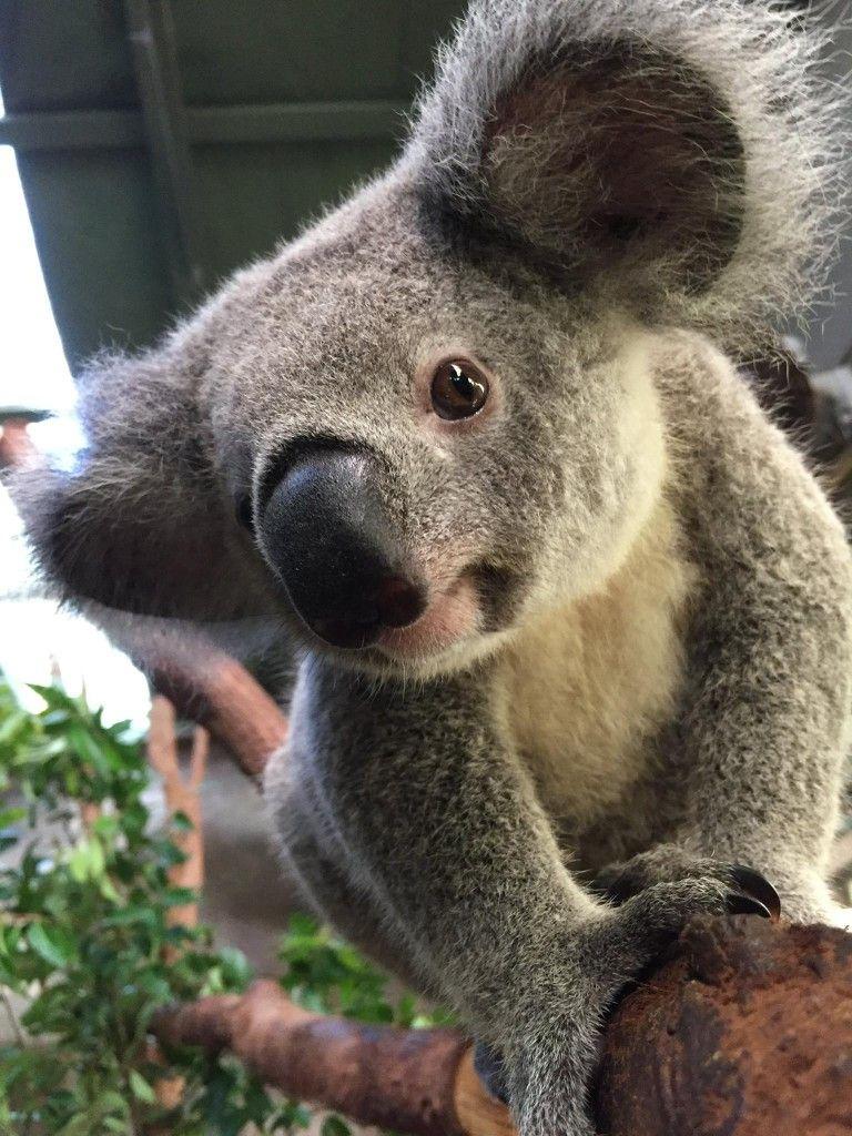 No... I'm not curious seriously Koala bear, Cute animals