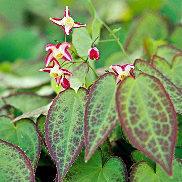 Red barrenwort  Epimedium rubrum foliage is red along the edges and has rosy undertones. Its color intensifies where it receives ample sun before trees leaf out in spring. Zones 4-9