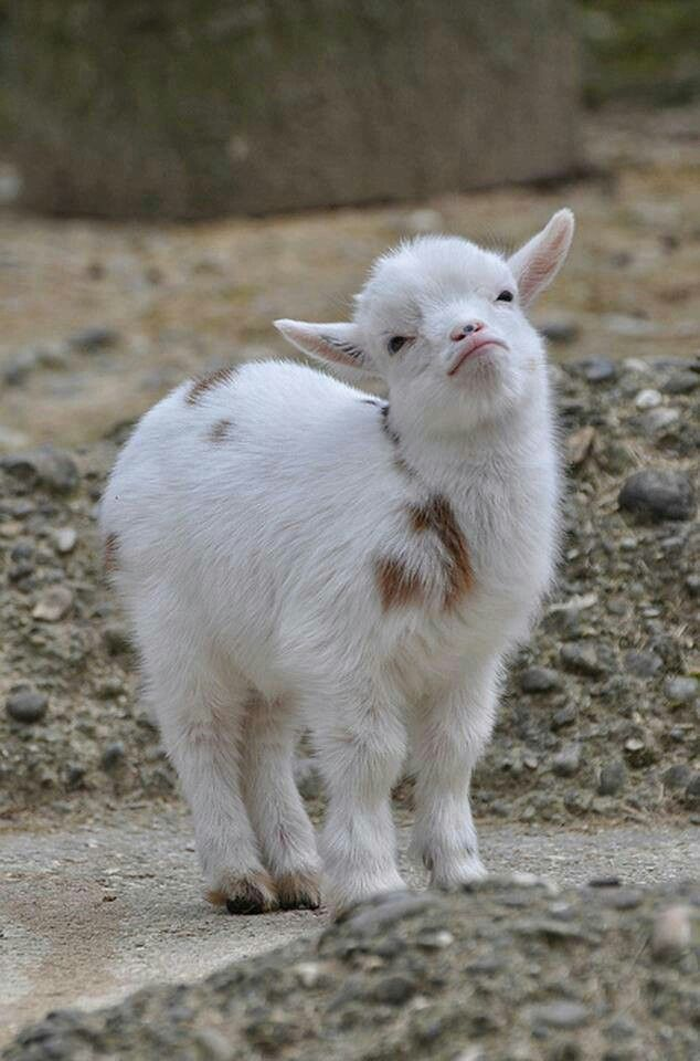Aww cute baby Pygmy Goat
