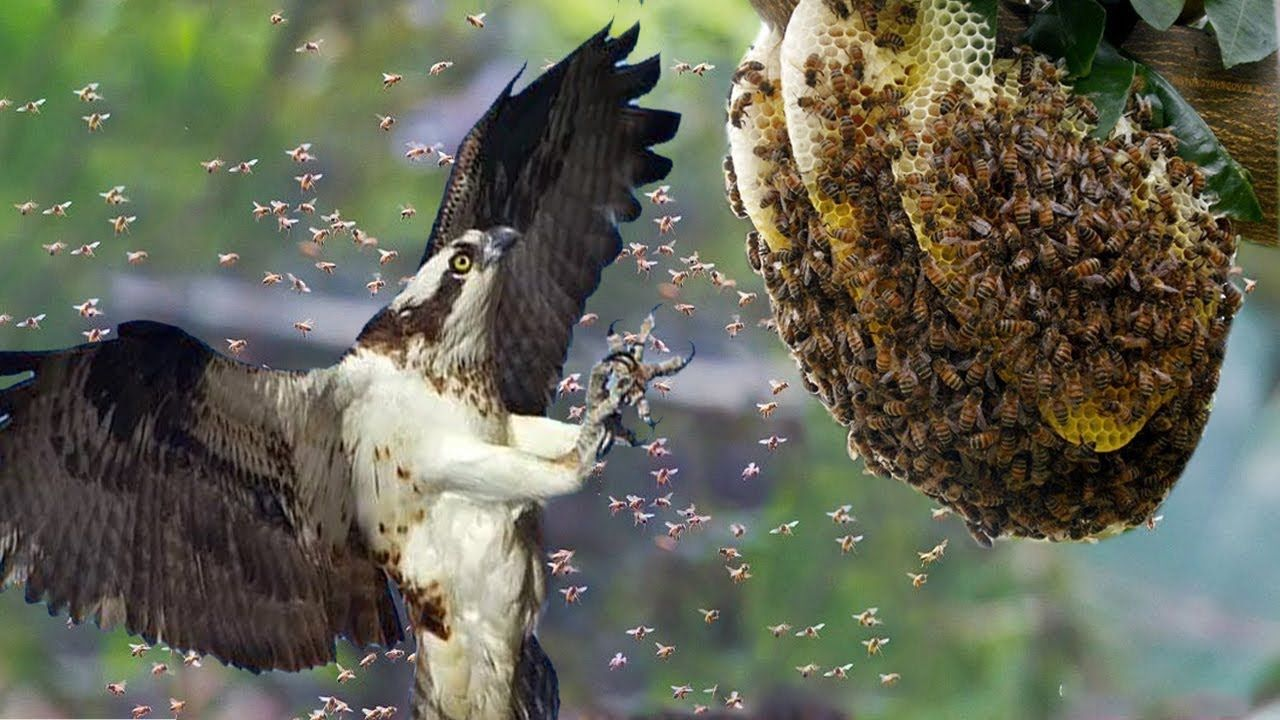 Hive Vs Nest >> Honey Buzzards vs Hornets _ Honey Buzzards hunting Hornets nest | Huntin... | Hornets nest ...