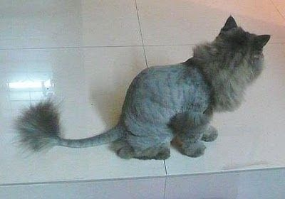 50 Cats With Lion Haircuts