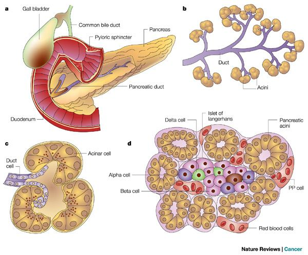 Acinar Cells are located in the pancreas OUTSIDE the Islets of ...