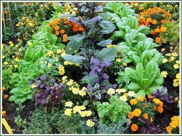 Companion planting vegetables herbs flowers