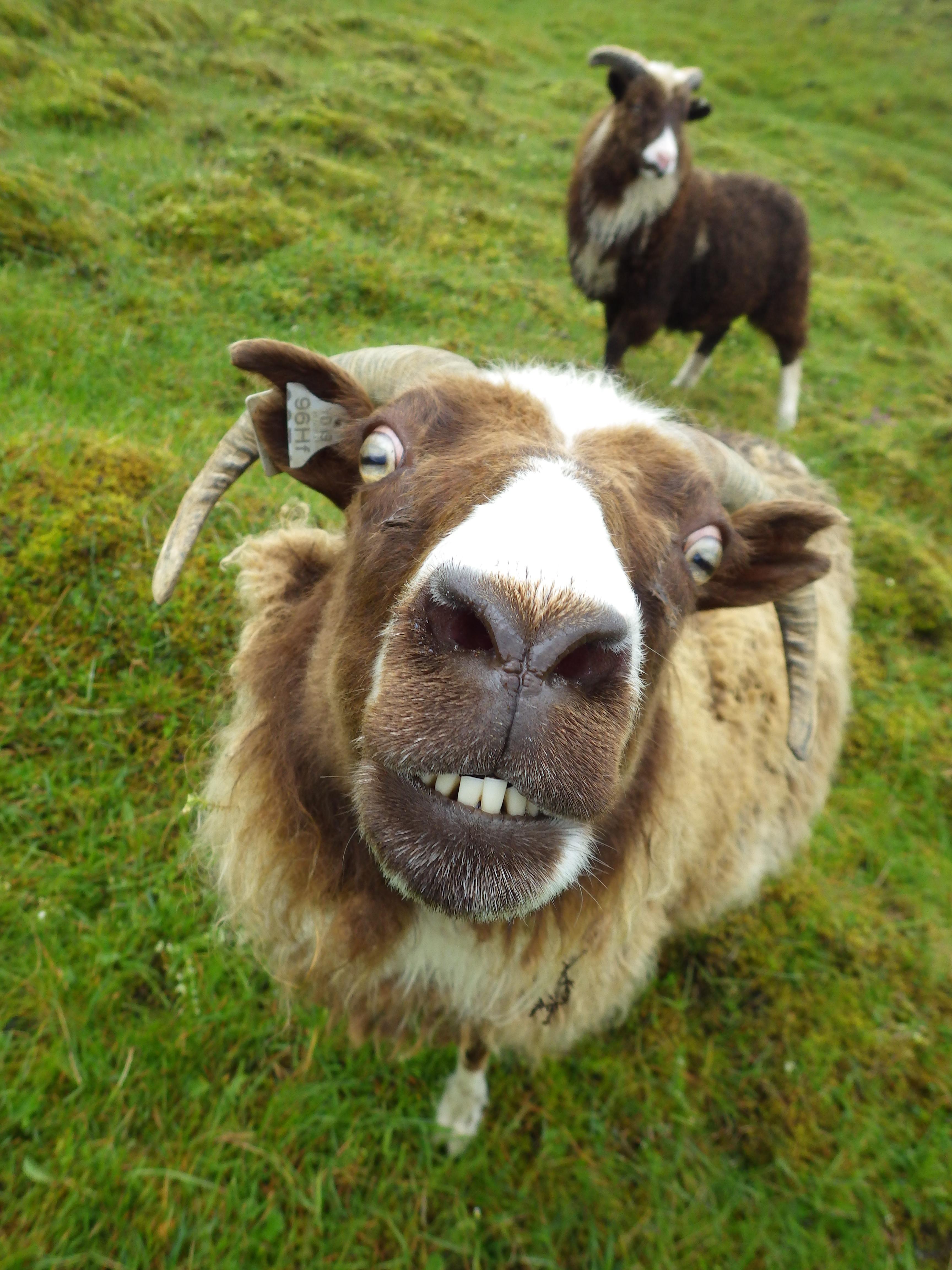 Kuk6W4O.jpg (3456×4608) | Anatomy: Caprinae (goat, sheep etc ...