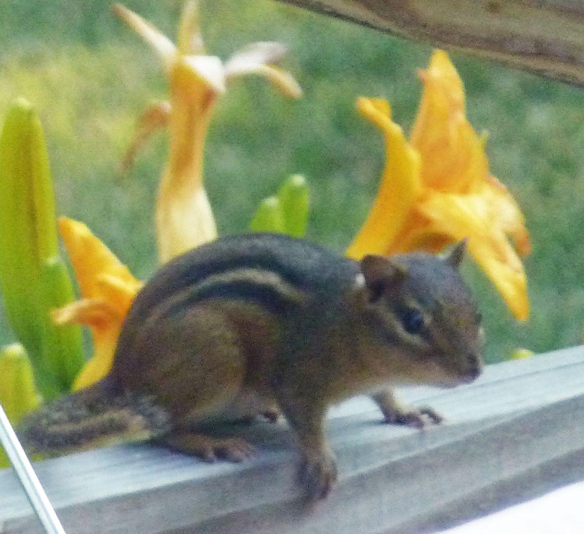 Chipmunk on our deck. Sincap