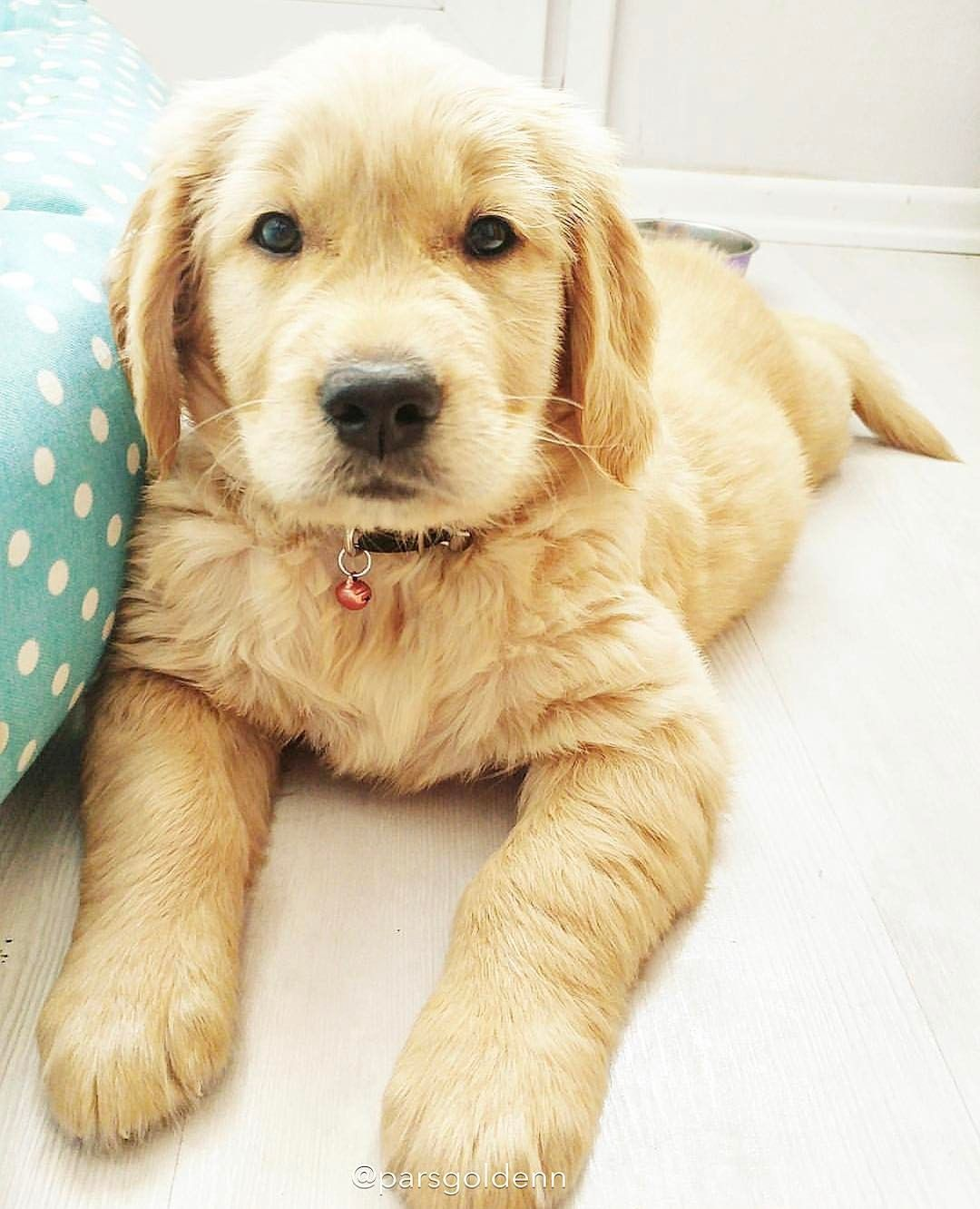 Cute Golden Retriever Puppy Pure Gold Dog Breeds Dogs Puppies