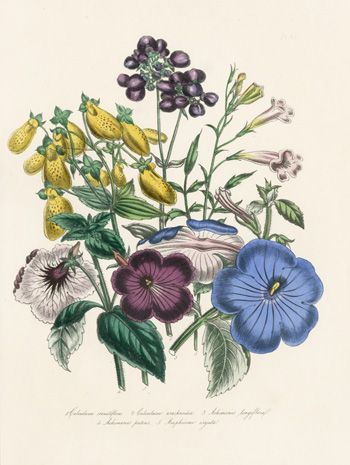 Antique Prints by Jane Loudon, from the Ladies Flower Garden or Ornamental Exotic Plants 1848