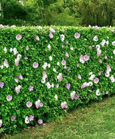 Rose of Sharon (Hibiscus syriacus): summer blooms; dense ...