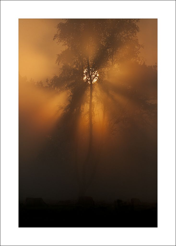 Silver Birch at sunrise