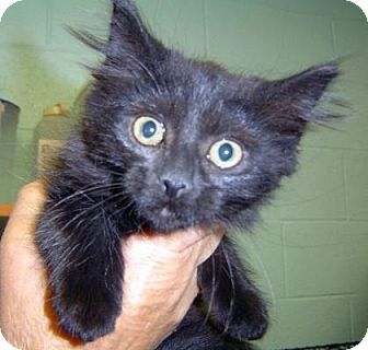 Las Cruces, NM - Domestic Longhair. Meet Onyx, a kitten for adoption. http://www.adoptapet.com/pet/12968981-las-cruces-new-mexico-kitten