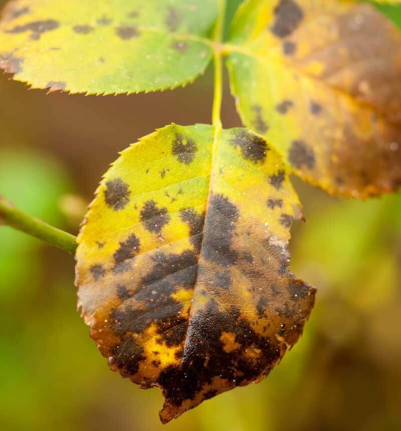 How To Control And Prevent Black Spot Damage On Roses Black Spot On Roses Yellow Leaves On Roses Rose Leaves