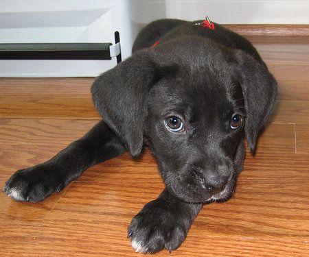 Black Boxador Puppies Google Search Boxador Puppies Puppies