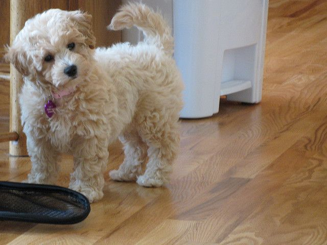 Another Poochon Dog Breed Photos Poochon Dog Super Cute Dogs