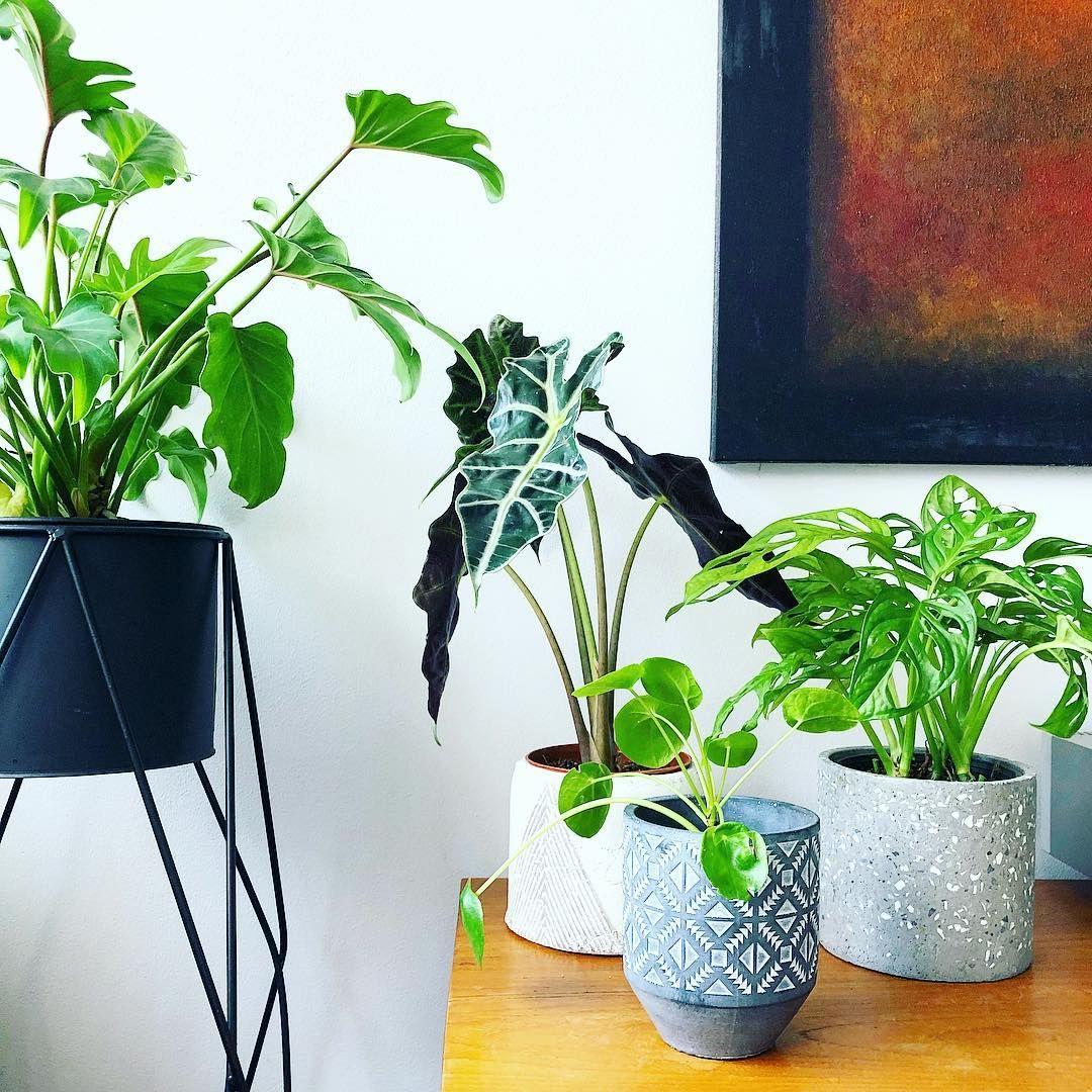 Plant gang houseplants pilea peperomioides plants decor home interior also rh pinterest